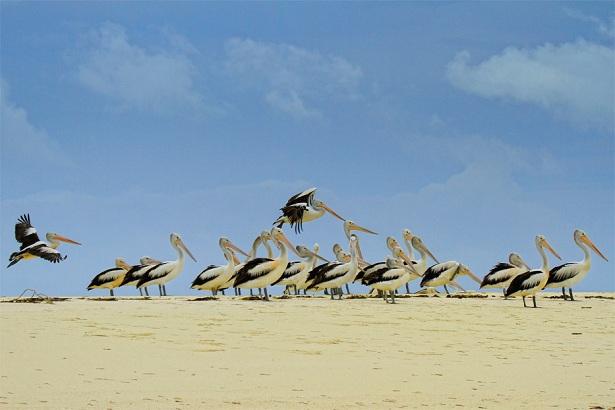 Burung Pelikan