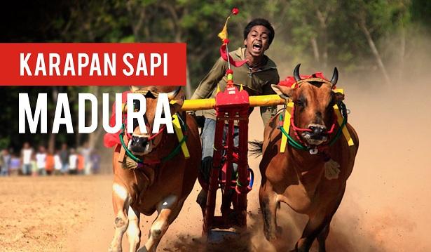 Karapan Sapi Madura 2015